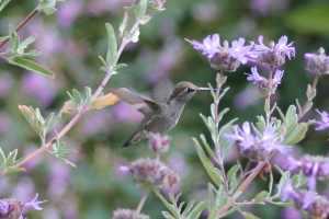 Hummingbird photo from Maggie.